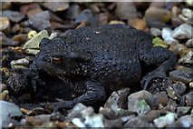 SJ3999 : Common Toad (Bufo bufo), Melling by Mike Pennington