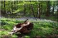 TL6307 : Bluebells in Ring Grove by Glyn Baker