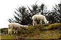NG1749 : Hebridean alpacas by Tiger