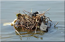 TQ2979 : Coots nesting, St. James's Park, London by pam fray
