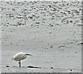 J4972 : Little egret, Newtownards (April 2017) by Albert Bridge
