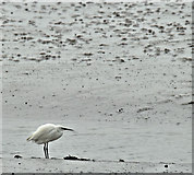 J4972 : Little egret, Newtownards (April 2017) by Albert Bridge