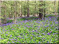 TG2404 : Bluebells (Hyacinthoides non-scripta) by Evelyn Simak
