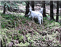 S7040 : Feral Goats by kevin higgins