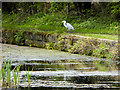 SD7909 : Grey Heron at the side of the Manchester, Bolton and Bury Canal by David Dixon