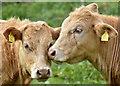 J3067 : Cattle, Drumbeg, Dunmurry - April 2017(2) by Albert Bridge
