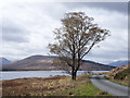 NN1589 : Lone tree beside road near Loch Arkaig by Trevor Littlewood
