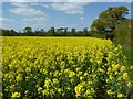 SO8842 : Oilseed rape field by Philip Halling