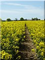 SO8643 : Footpath through oilseed rape by Philip Halling