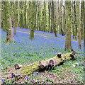 ST1583 : Bluebells, Coed y Wenallt, Cardiff by Robin Drayton