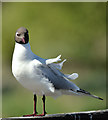 J4774 : Black-headed gull, Kiltonga, Newtownards (May 2017) by Albert Bridge