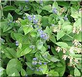 TG3204 : Green alkanet (Pentaglottis sempervirens) by Evelyn Simak
