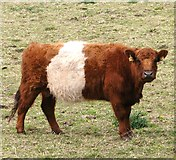 TG3204 : Belted Galloway heifer by Evelyn Simak