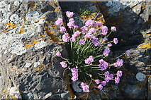 NW9954 : Wild Thrift, Portpatrick by Billy McCrorie