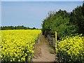 SK4012 : Footpath between flowering oilseed rape and Kelham Wood by Ian Calderwood