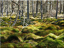 NH5853 : Moss of the bog-forest, Monadh Mòr SSSI by Julian Paren