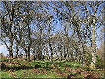 NH5857 : Oaks of Drummondreach Oak Wood by Julian Paren