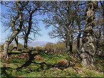 NH5857 : Glimpse to Beinn Wyvis, Drummondreach Oak Wood by Julian Paren