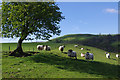 SD6296 : Sheep near Crook of Lune by Ian Taylor