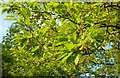 SX9266 : Turkey oak, Petit Tor Downs by Derek Harper