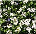 TG3103 : Watercress (Nasturtium officinale) - flowers by Evelyn Simak