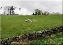NO2203 : Spring lambs, Lomond Hills by Bill Kasman