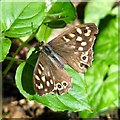 TG1600 : Speckled Wood butterfly (Pararge aegeria) by Evelyn Simak