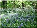 TG1600 : Bluebells and cow parsley in Bush Close by Evelyn Simak