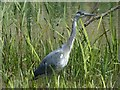 ST1380 : Grey Heron, Forest Farm Country Park by Robin Drayton