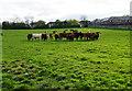 NZ2365 : Cattle on Castle Leazes by Bill Boaden