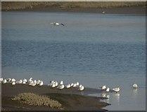 SW9873 : Gulls by the Camel by Derek Harper