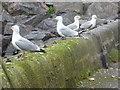 NO8270 : Herring Gulls (Larus argentatus) by Stanley Howe