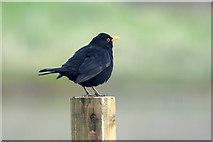 HP6008 : Male Blackbird (Turdus merula), Baltasound by Mike Pennington