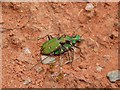 NS3679 : Two Green Tiger Beetles by Lairich Rig