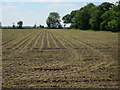 TL7193 : Maize crop by Tennis Drove by Hugh Venables