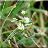 TG3204 : Mouse-ear chickweed (Cerastium vulgatum) - flowers by Evelyn Simak