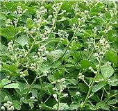 TG3204 : Blackberry (Rubus fruticosus) - flower buds by Evelyn Simak