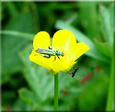 TG3204 : Swollen-thighed Beetle  (Oedemera nobilis) by Evelyn Simak