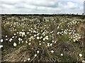 SK2678 : Cotton grass in flower by Graham Hogg