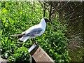 SD6221 : Black headed gull by Philip Platt