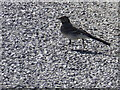 H6153 : Pied wagtail, Cullenbrone by Kenneth  Allen