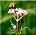 TG3103 : Bumblebee feeding on hemp agrimony by Evelyn Simak