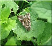 SP3177 : Silver Y moth by E Gammie