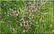SX9066 : Ragged robin, Nightingale Park by Derek Harper