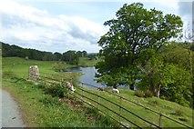 NY3404 : Lambs near Loughrigg Tarn by DS Pugh