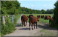 TL4355 : Cattle on the Grantchester Meadows by Mat Fascione