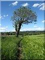 NZ1219 : Ash tree by the path by Gordon Hatton
