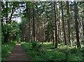 TL9095 : The Peddars Way at the Cherryrow Plantation by Mat Fascione