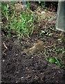 SH8076 : A juvenile robin (Erithacus rubecula) by Richard Hoare