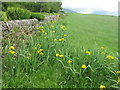 NS0768 : Yellow Flag or Iris at Ardmaleish by M J Richardson